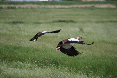 Egyptische ganzen in Groot Koninkrijk