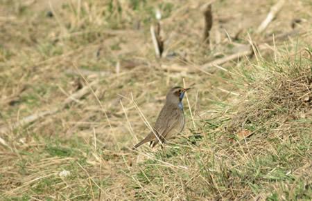Blauwborst in polder Groot Koninkrijk 's-Gravendeel