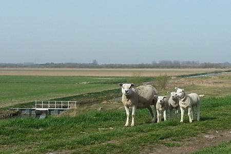 Lammetjes in Groot Koninkrijk 's-Gravendeel