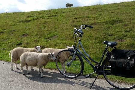 Schapen bij fiets polder Groot Koninkrijk te 's-Gravendeel