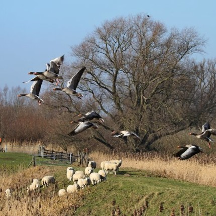 Fotocolumn s-Gravendeel - Ganzen en schapen in Groot Koninkrijk