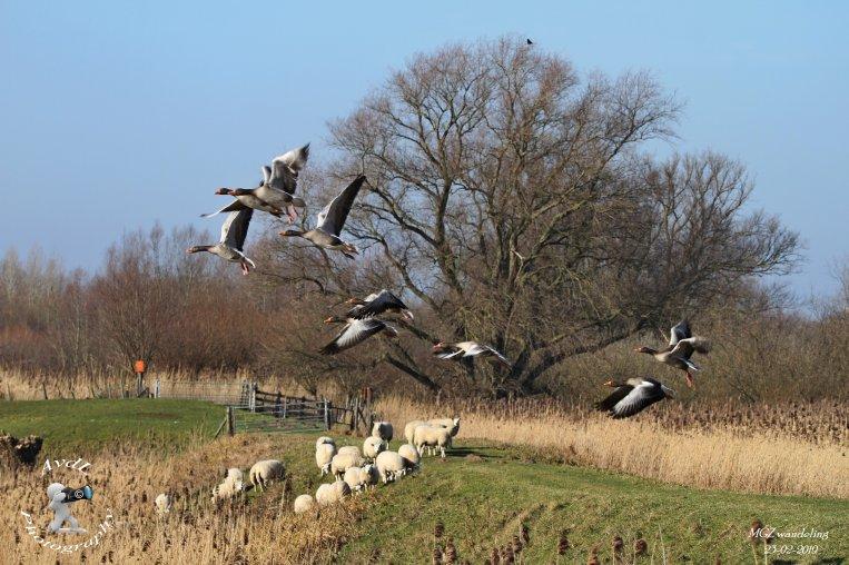 Ganzen en schapen in polder Groot Koninkrijk 's-Gravendeel